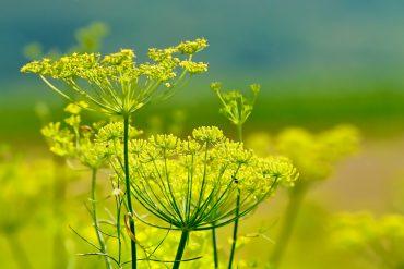 שומר זרעי שומר